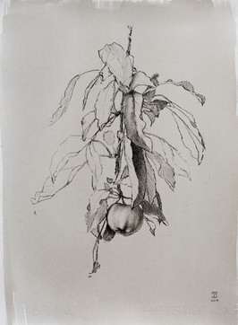 """Mary Jane Ward 'Apple with Leaves' Charcoal, graphite, ink wash on paper. 15"""" x 11"""" 2019  $760"""