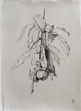 "Mary Jane Ward 'Apple with Leaves' Charcoal, graphite, ink wash on paper. 15"" x 11"" 2019  $760"