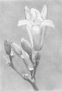 """Lowell Tolstedt """"Daylily"""", 2015 Silverpoint 6 5/8  x 4 5/8 inches $2,150"""