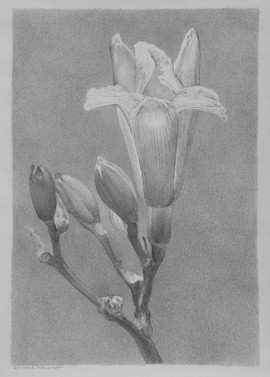 Lowell Tolstedt 'Daylily', 2015 Silverpoint 6 ⅝ x 4 ⅝ inches      $1,850