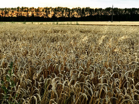 Hungarian Wheat Field