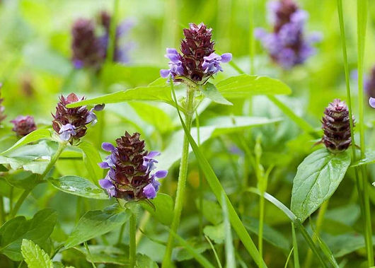 prunella-vulgaris-1296x728-feature.jpg