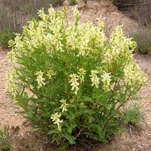Astragalus (Huang-qi)