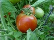 Mewaldt - Tomato Farm Sweet