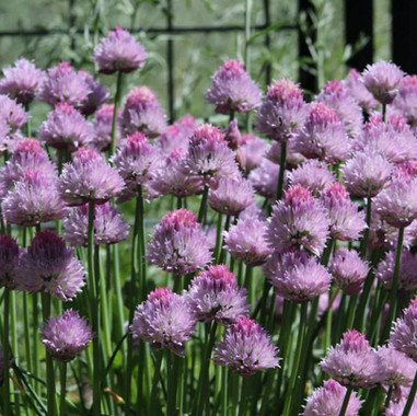 Chives, Common