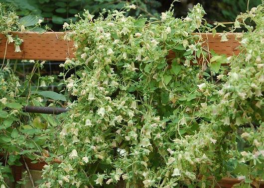 codonopsis-pilosuli-in.jpeg
