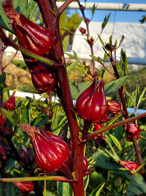 Hibiscus (Roselle, Red Drops)