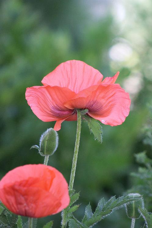 Poppy, Oriental