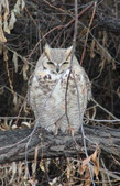 Our Friend the Owl