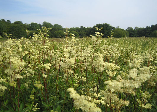 meadowsweet.jpg