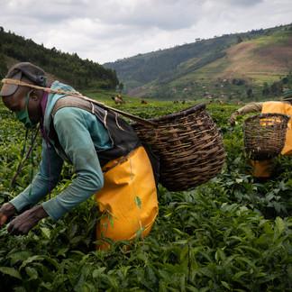 Tea fields, Gicumbi, Rwanda