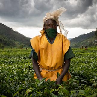 Gicumbi Tea fields, Rwanda