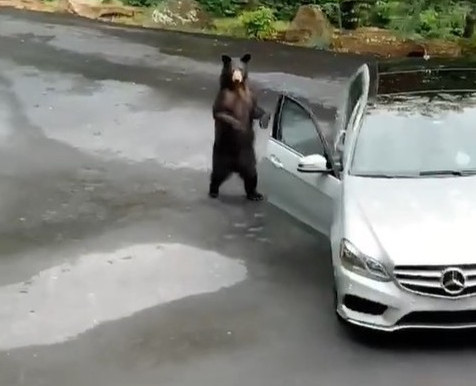 TikTok Video of Bear Breaking Into Mercedes BenzGoes Viral