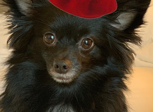 Biggie The Black Pomeranian Is Set To Release New Single on Instagram