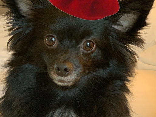 Biggie The Black Pomeranian Is Set To Release New Single on Instagram