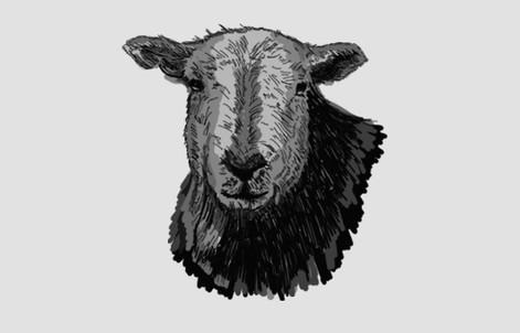 Local Herdwick Sheep