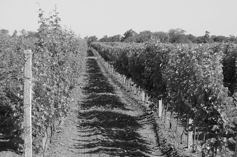 vineyards-PYEA6VU_edited.jpg