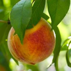peach 200.jpg