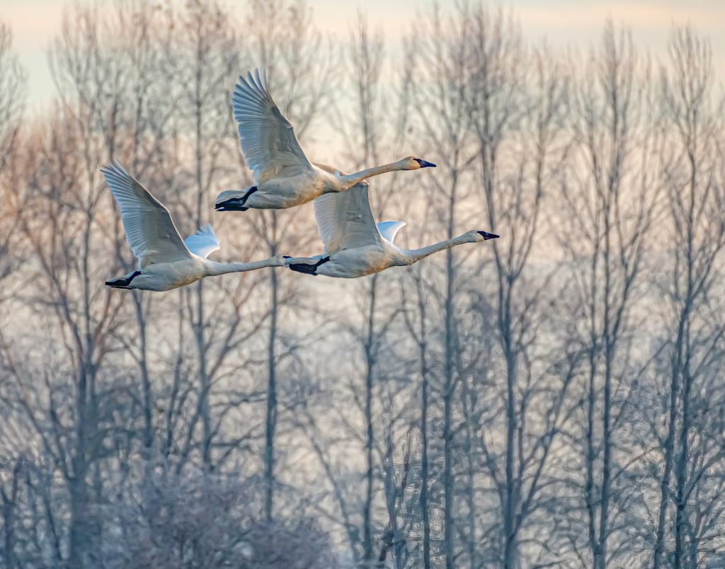 SwansAtDawn_BillRay_DSCF3568-1024x804