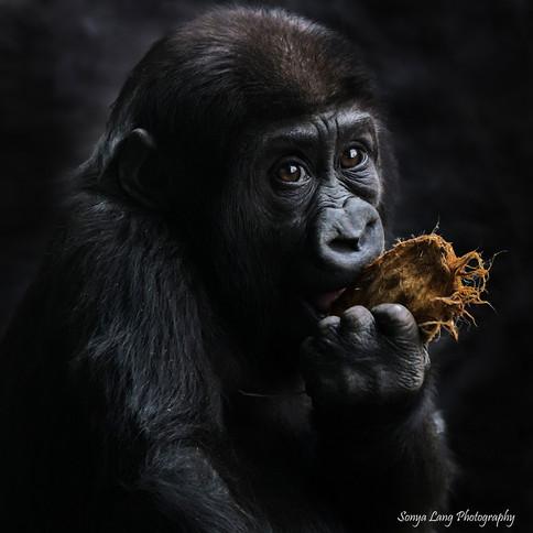 yola-gorilla-baby-sonya-lang-resized.jpg