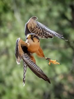 Falcon-in-Sharp-Turn_Bill-Ray_DSCF2218-7