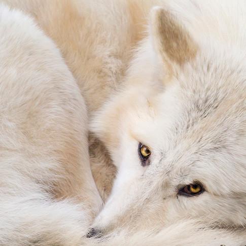 aponi-gray-wolf-sonya-lang.jpg