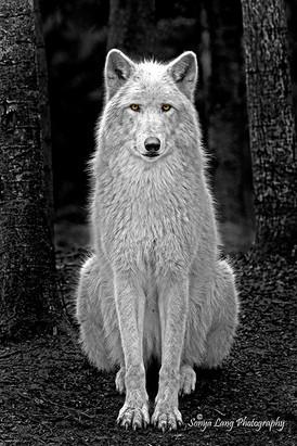 beauty-wolfv2-sonya-lang.jpg