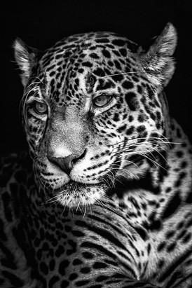 jaguar-sonya-lang.jpg