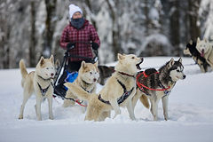 photo chiens traineau.jpg