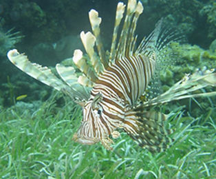 Lionfish-PhotoCredit-REEF.jpg