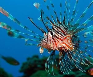 Lionfish-PeterLiuPhotography.jpg