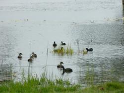 Ducks on the lagoon