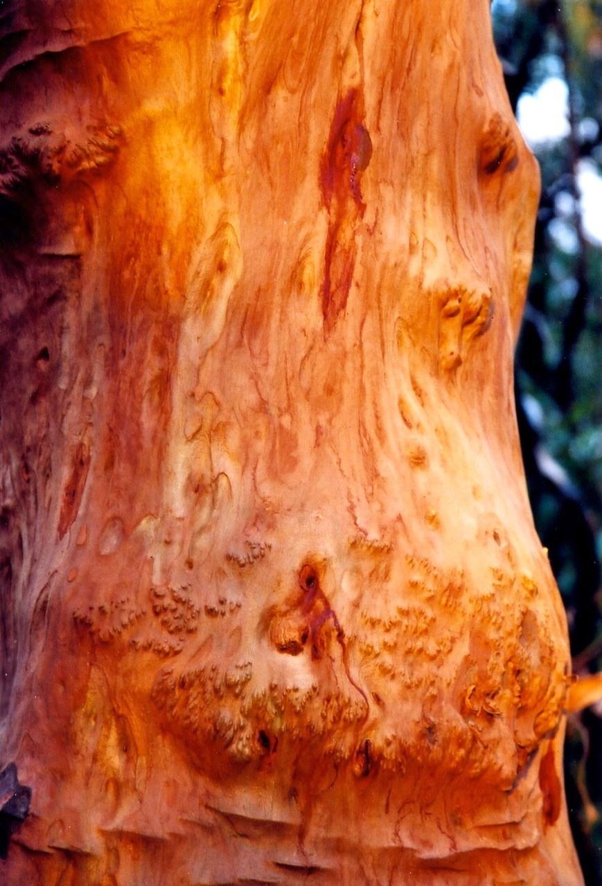 Red Bark Tree