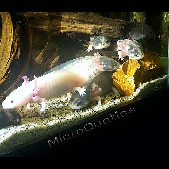 Female/ White Leucistic Axolotl