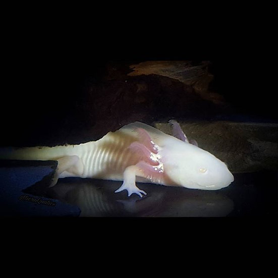 GFP White Albino