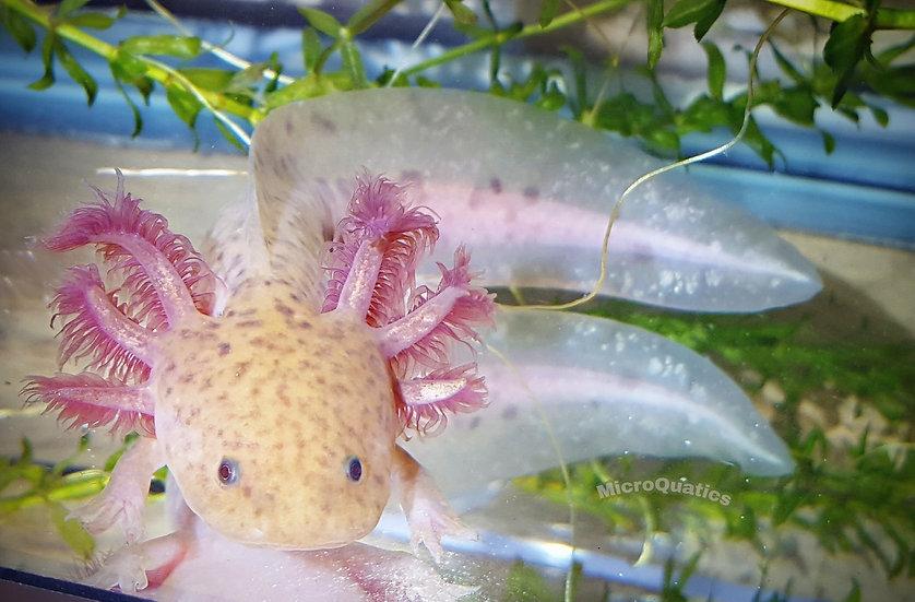 Copper Axolotl (in between coloration)