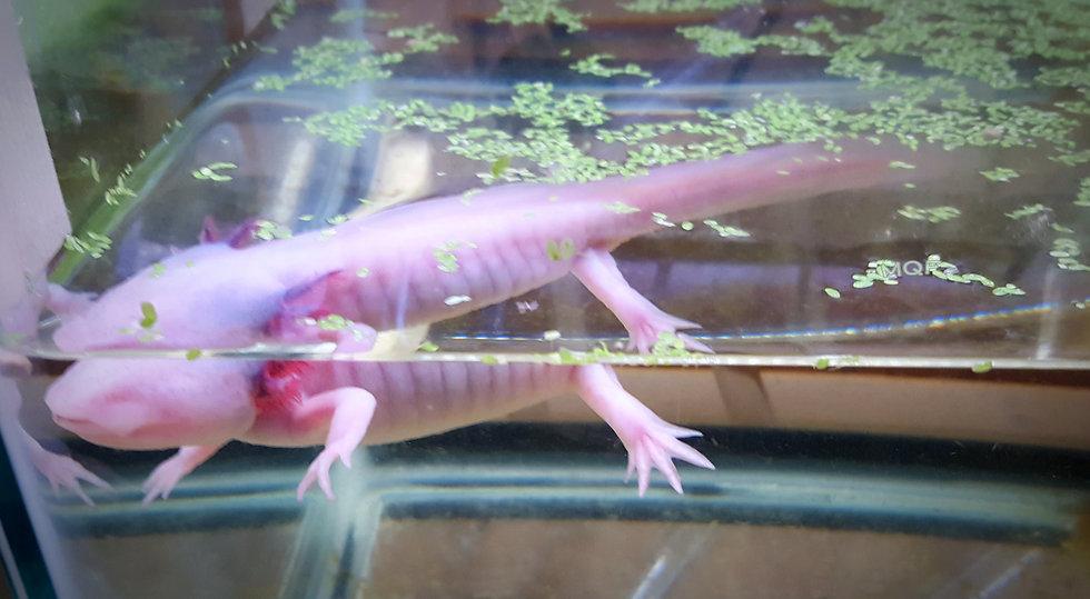 RARE *Blue Gill Eyeless Axolotl*