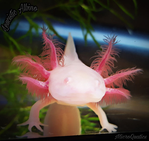"White Albino 3""/5"""