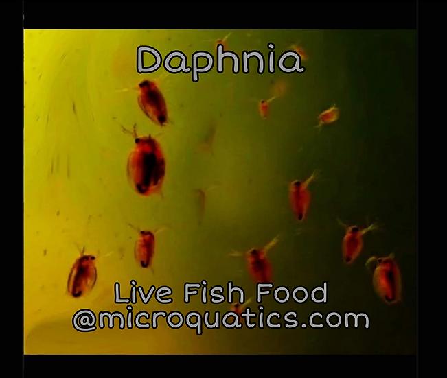 Live Daphnia ~ Fish/ Salamander Food