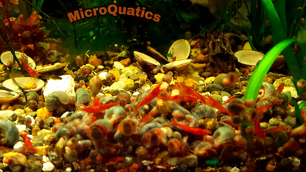 Qty:15  Red Cherry Shrimp