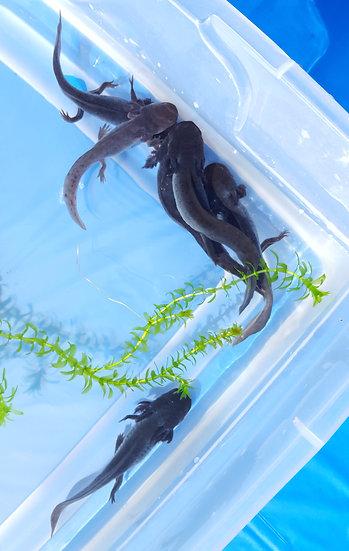 Melanoid Axolotl(s)