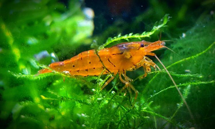 Tangerine Tiger Shrimp