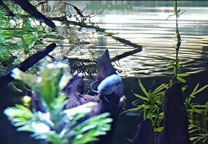Ramshorn Snails ~ Blue