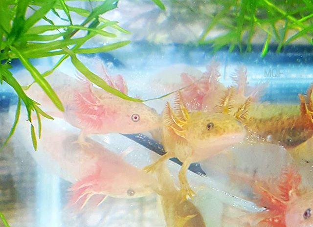 """Dark Copper Axolotl (2.5""""/ 4"""")"""