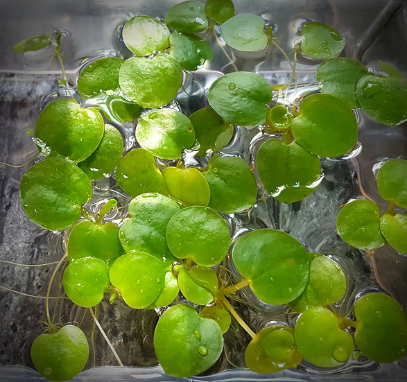 Frogbit  Qty:15 Plants