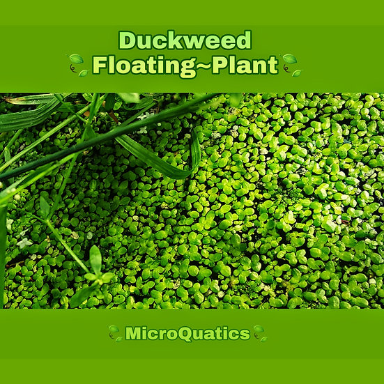 Duckweed Floating Plant
