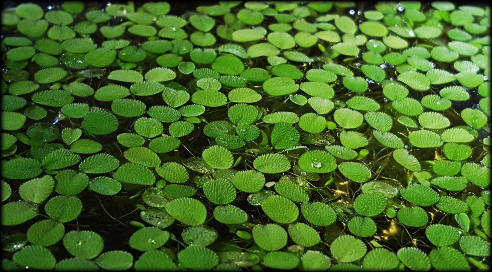 🍃Salvinia Minima🍃 Floating Aquarium Plant