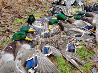 Green timber, green ducks, and cool weather