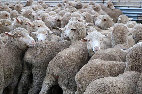 Flock Ewe Comp Registration
