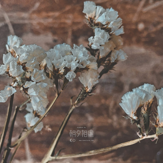 白星辰 (乾花)   襯花